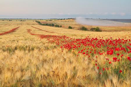 Meadow de blé et de pavot. Composition de la nature. Banque d'images