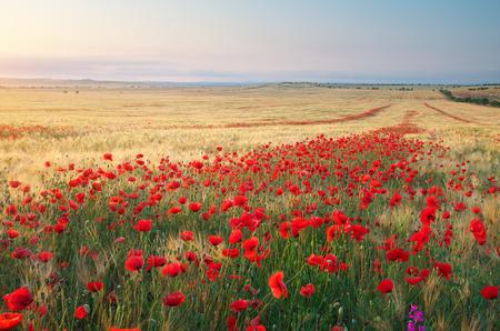 poppy: Prado de trigo y amapola. Composición de la naturaleza.