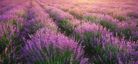 Lavender texture. Composition of nature.