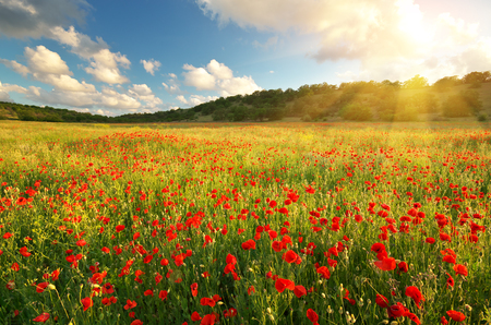 fields: Big poppy meadow. Spring nature composition.
