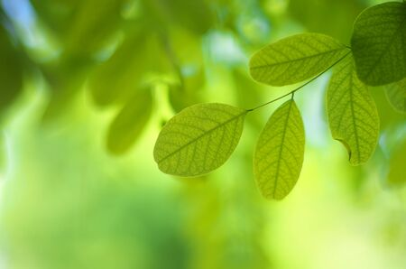 Leaf of acacia and green bokeh. Element of design.