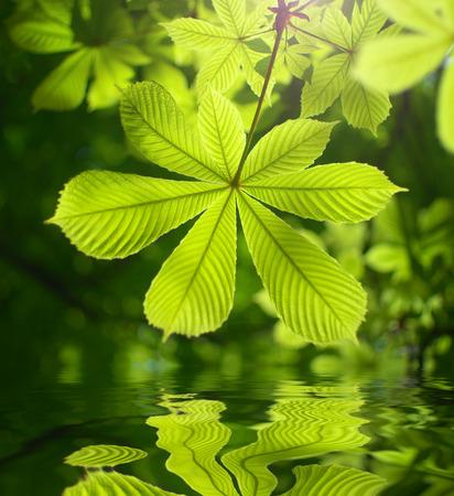 spring leaf: Spring leaf of chestnut and water reflection. Nature composition.