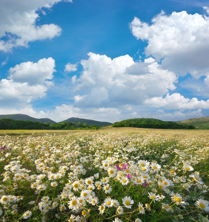 a meadow: Spring daisy flowers  in meadow. Beautiful landscapes.