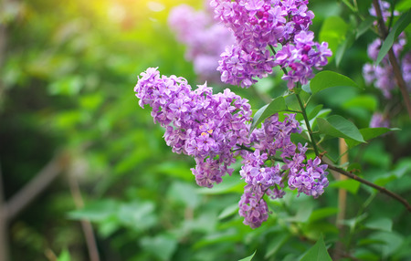 Flower of a lilac. Nature composition. Stock Photo