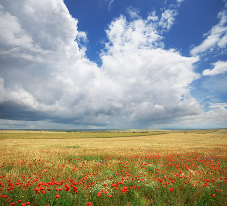 Meadow of wheat and poppyes. Nature composition. Stock Photo