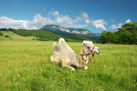 Camel in mountain meadow. Nature composition.