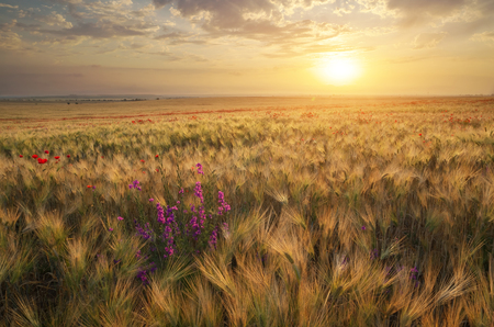 Meadow of wheat on sundown. Nature composition. Stock Photo