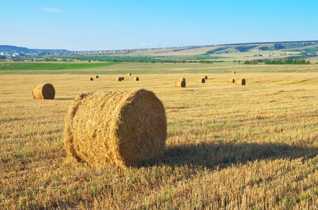 Round straw bales on field . Summer landscape.