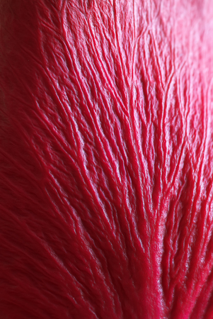 Texture of red leaf. Macro vien petal.