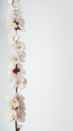Isolated sakura. Spring apricot flowers on bench. Element of design. Stock Photo