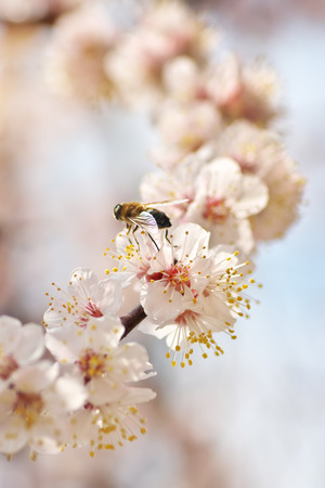 Bee on white spring tree apricot flower. Macro nature composition. Фото со стока