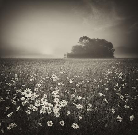 Daisy meadow on foggy morning. Nature art photography. Stock Photo