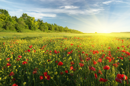Spring flowers in meadow at sunset. Beautiful landscapes. Stock Photo