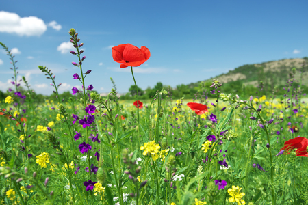 In poppies field. Nature composition. Red poppy flower portrait in green meadow on blue sky background.