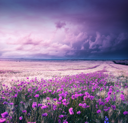 Meadow of wheat and poppy. Infrared art nature landscape. Stock Photo