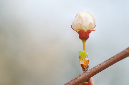 Macro of spring bud flower on tree branch. Nature composition.