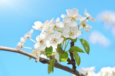 Spring flower and bud on tree. Composition of nature.