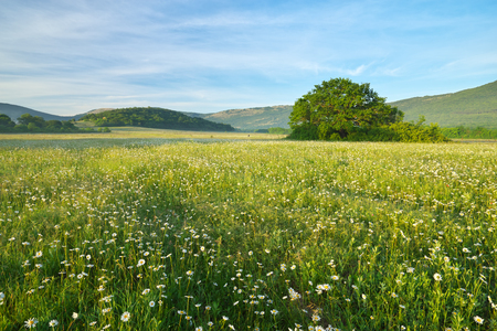 Green meadow in mountain and camomile flowers at morning. Composition of nature.