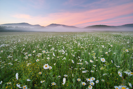 Daisy meadow on foggy morning. Nature composition.