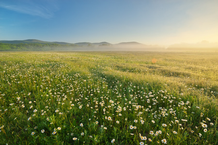 Daisy meadow on foggy morning. Nature composition landscape. Stock Photo
