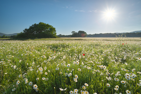Daisy meadow at day. Nature composition landscape.