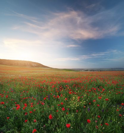 Spring medoaw of poppy flowers at sunset. Nature composition.