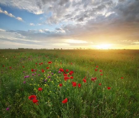 Spring medoaw of poppy flowers at sunset. Nature landsape.