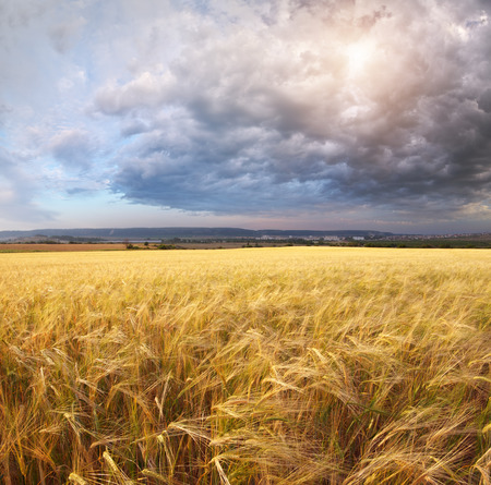 Panorama meadow of wheat on sundown. Nature composition.