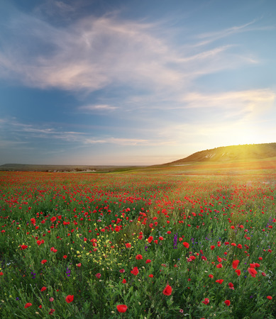 Spring medoaw of poppy flowers at sunset. Hi-resolution nature panorama composition.