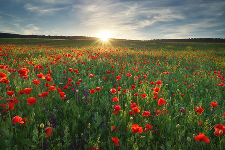Spring medoaw of poppy flowers. Nature composition. Imagens