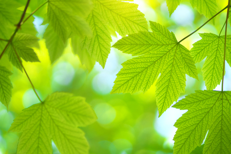 Green spring leaf of maple tree and beautiful bokeh background. Composition of nature. Фото со стока