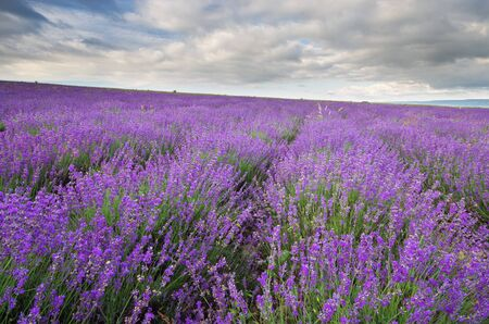Meadow of lavender at cloudy day. Nature scene. 免版税图像