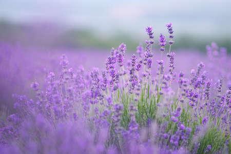 Lavender flowers portrait. Composition of nature,