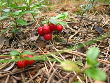 ripe, red lingonberry on a green bush in the forest Stock Photo - 10080822