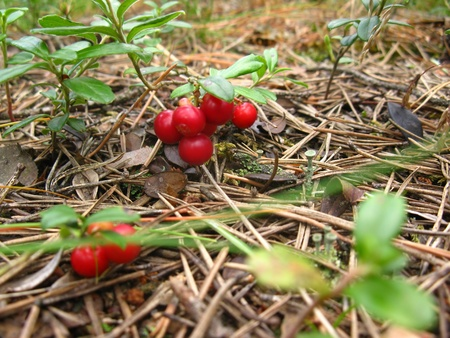 colic: ripe, red lingonberry on a green bush in the forest