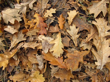 colic: autumn leaves mostly withered oak lying on the ground could be a background