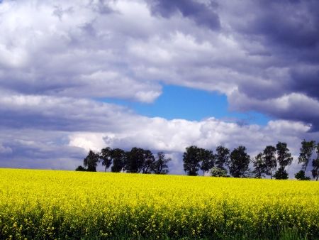flourishing field of yellow rape as a background photo