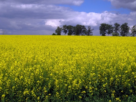 flourishing field of yellow rape as a background