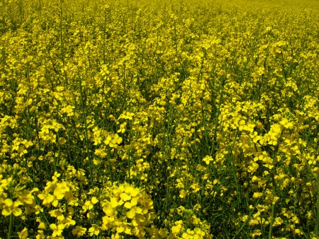 flourishing field of yellow rape as a background
