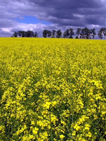 yellow flowering rape field in May at a slightly cloudy weather photo