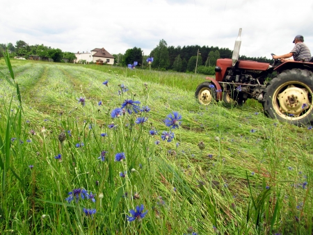 mowing of the fields covered with blue flowers, cornflowers and other wild fieldstone plants