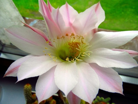 Two large pink flowers of a small potted cactus stock photo picture large pink flower small cactus in a pot on the window photo mightylinksfo Images
