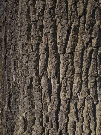 oak bark close-up as background photo