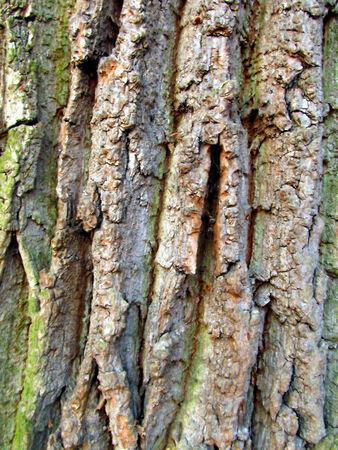 oak bark close-up