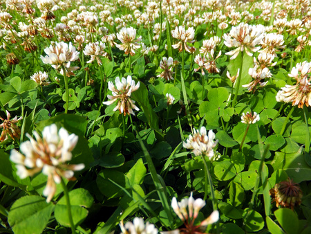 trifolium: overgrown meadow young white clover  Trifolium repens   as a background Stock Photo