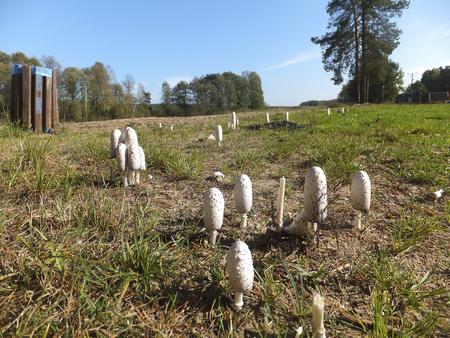 Wild mushrooms growing in a grassy field. Edible conditionally, canine agaric mushroom (Coprinus comatus).
