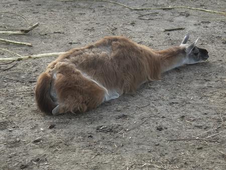 llamas nap during a cloudy day photo
