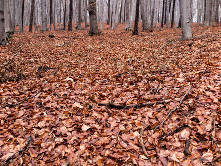 scum: late autumn, wet beech leaves fallen to the ground as the background