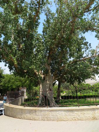 sicomoro: Sycamore in Jericho, the biblical place where Zacchaeus met Jesus