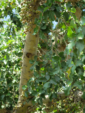 sycamore leaf: Sycamore in Jericho, the biblical place where Zacchaeus met Jesus